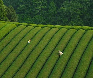Traversing Through The Tea Fields of Wazuka